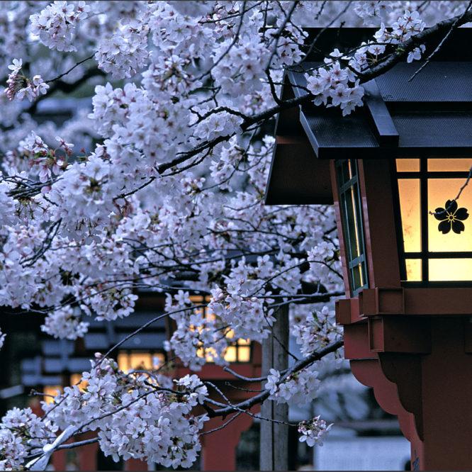Sakura Kyoto Japan