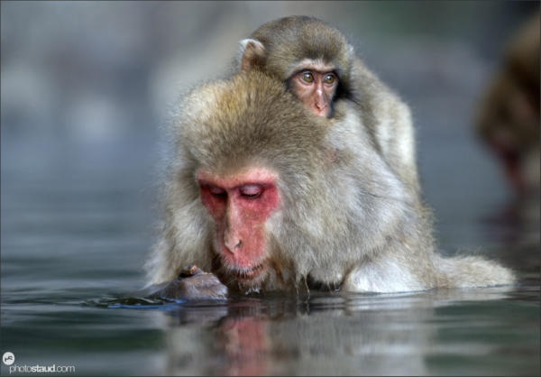 Japanese Macaque (Macaca fuscata) soaks in hot spring while carrying her baby, Jigokudani National Park, Japan