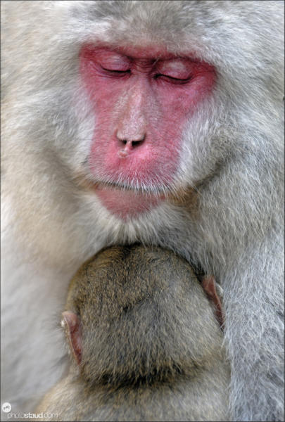 Japanese Macaque (Macaca fuscata) nurturing her baby  close up portrait, Jigokudani National Park, Japan