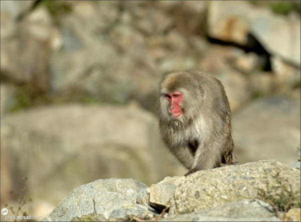 apanese Macaque (Macaca fuscata) in the hills of Jigokudani National Park, Japan