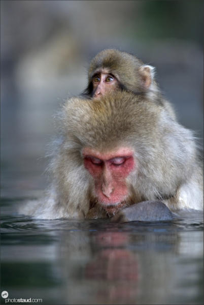 apanese Macaque (Macaca fuscata) rests in hot spring while carrying her baby, Jigokudani National Park, Japan