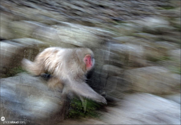 Japanese Macaque (Macaca fuscata) running in the hills of Nagano, Japan