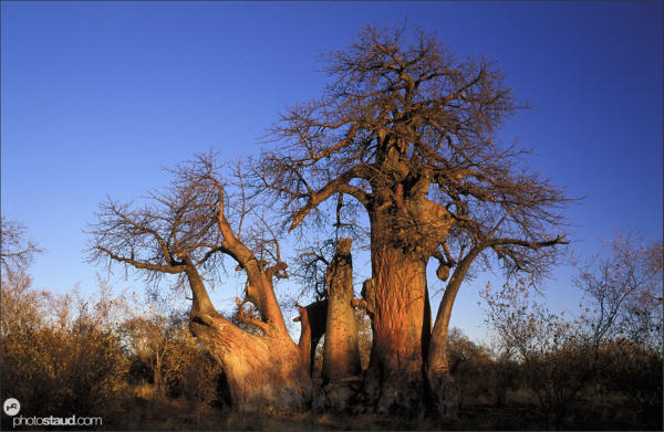 Baobab Tree in the Kalahari Desert, Bushmanland, Namibia