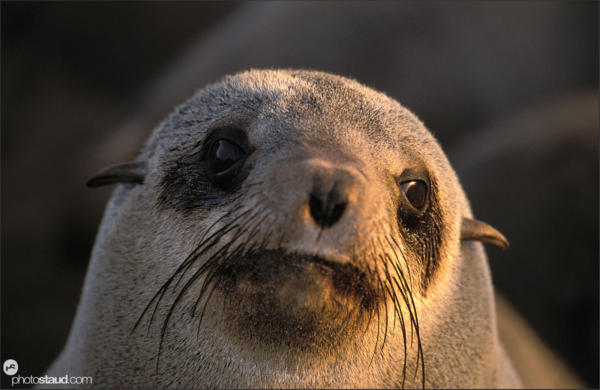 Sealions of Cape Cross, Namibia