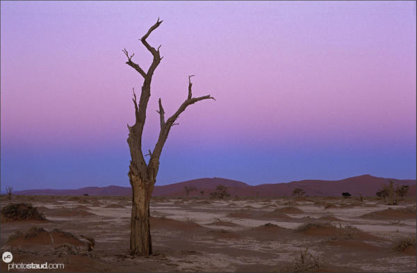 Acacia Trees in the surreal landscape of the Namib Desert, Sossusvlei, Namibia