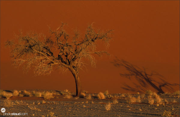 Tree and shadow in front of Dune 45, Namib Desert, Namibia