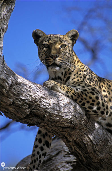 Leopard resting on tree, Namibia