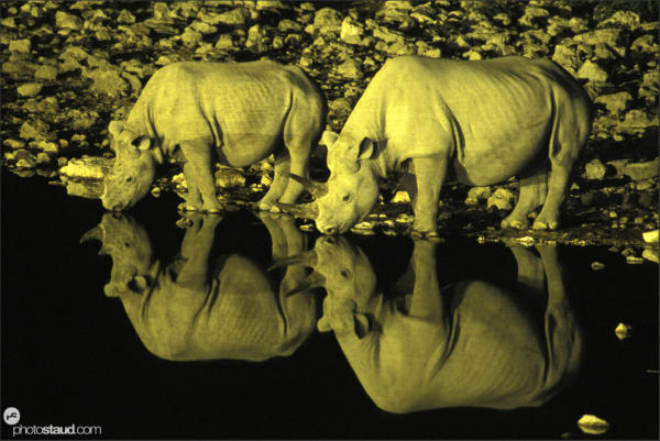 Nighttime photography of rhinos drinking in Etosha National Park, Namibia