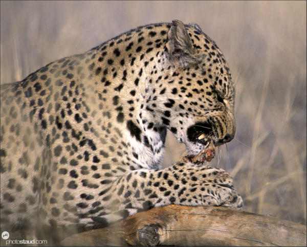 Leopard eating kill in grass, Namibia