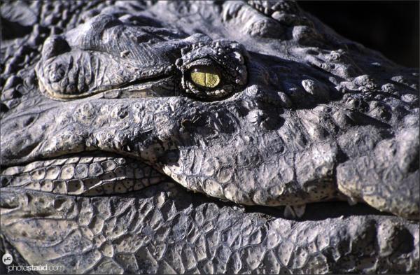 Close up Crocodile eye, Namibia