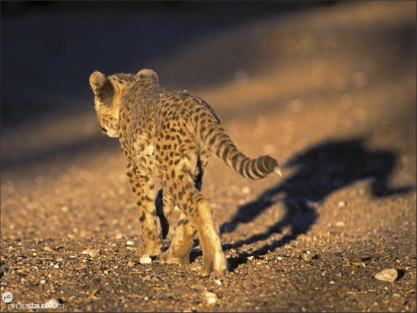 Cheetah cub casting shadow walking, Namibia