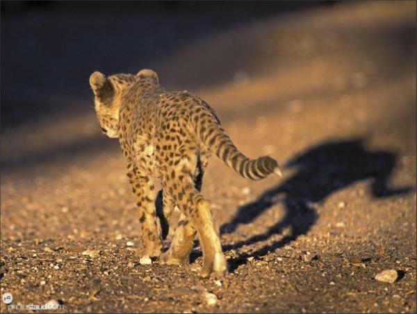 Cheetah cub casting shadow walking, Namibia