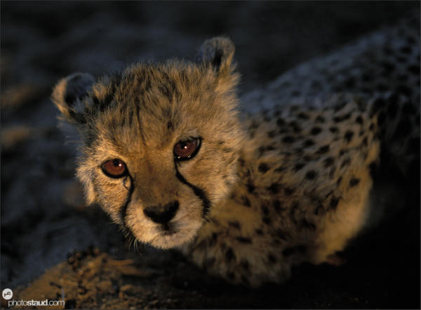 Cheetah cub lying in the setting sun, Namibia
