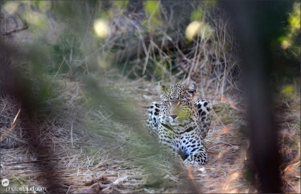 Leopard (Panthera pardus) hiding in the bush of Pafuri, Kruger National Park, South Africa
