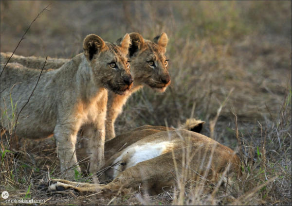 Lioness with two cubs (Panthera leo), Hlane Royal National Park, Swaziland