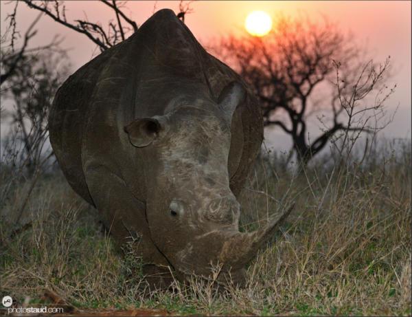 White rhinoceros (Ceratotherium simum) sunset Mkhaya Game Reserve, Africa