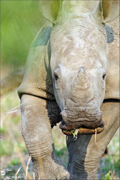 Juvenile white rhinoceros (Ceratotherium simum) Mkhaya, Swaziland, Africa