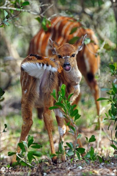 Nyala (Tragelaphus angasi) Mkhaya Game Reserve, Swaziland, Africa