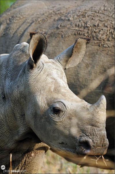 Juvenile white rhinoceros (Ceratotherium simum) Mkhaya, Swaziland, , Africa