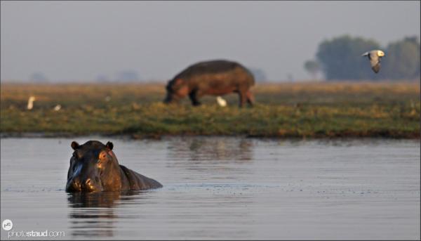 Hippopotamus amphibius Kafue National Park, Zambia