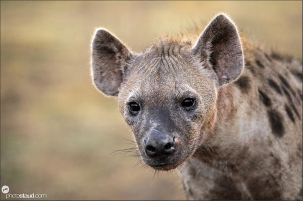 Spotted hyena Crocuta crocuta South Luangwa, Zambia