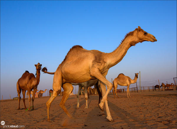 Camel Racing Club, Najran, Saudi Arabia